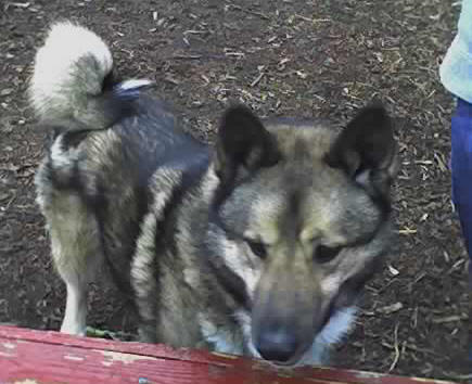 Norwegian Elkhound Siberian Husky Mix